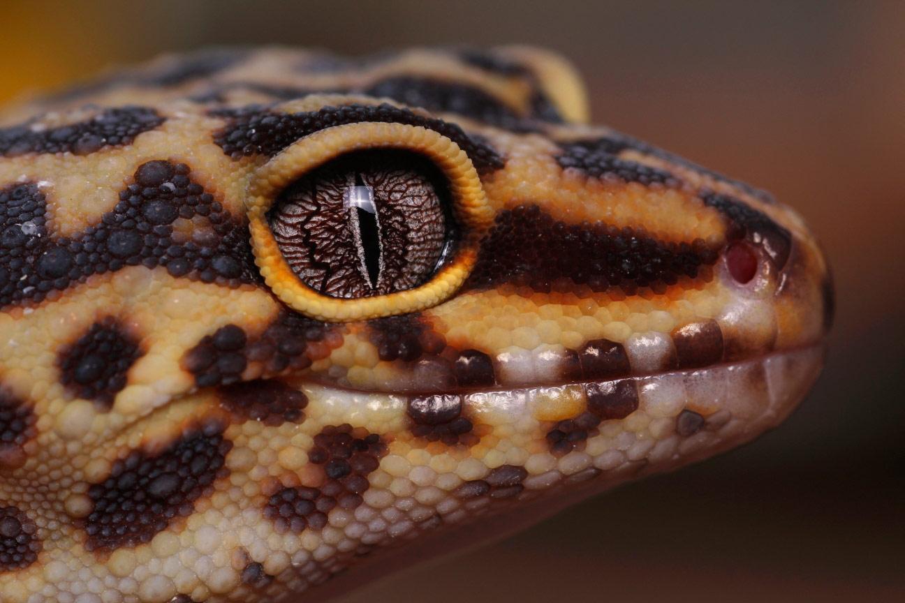 © Джек Олив, Леопардовый геккон, Фотоконкурс Королевского общества биологии — Royal Society of Biology