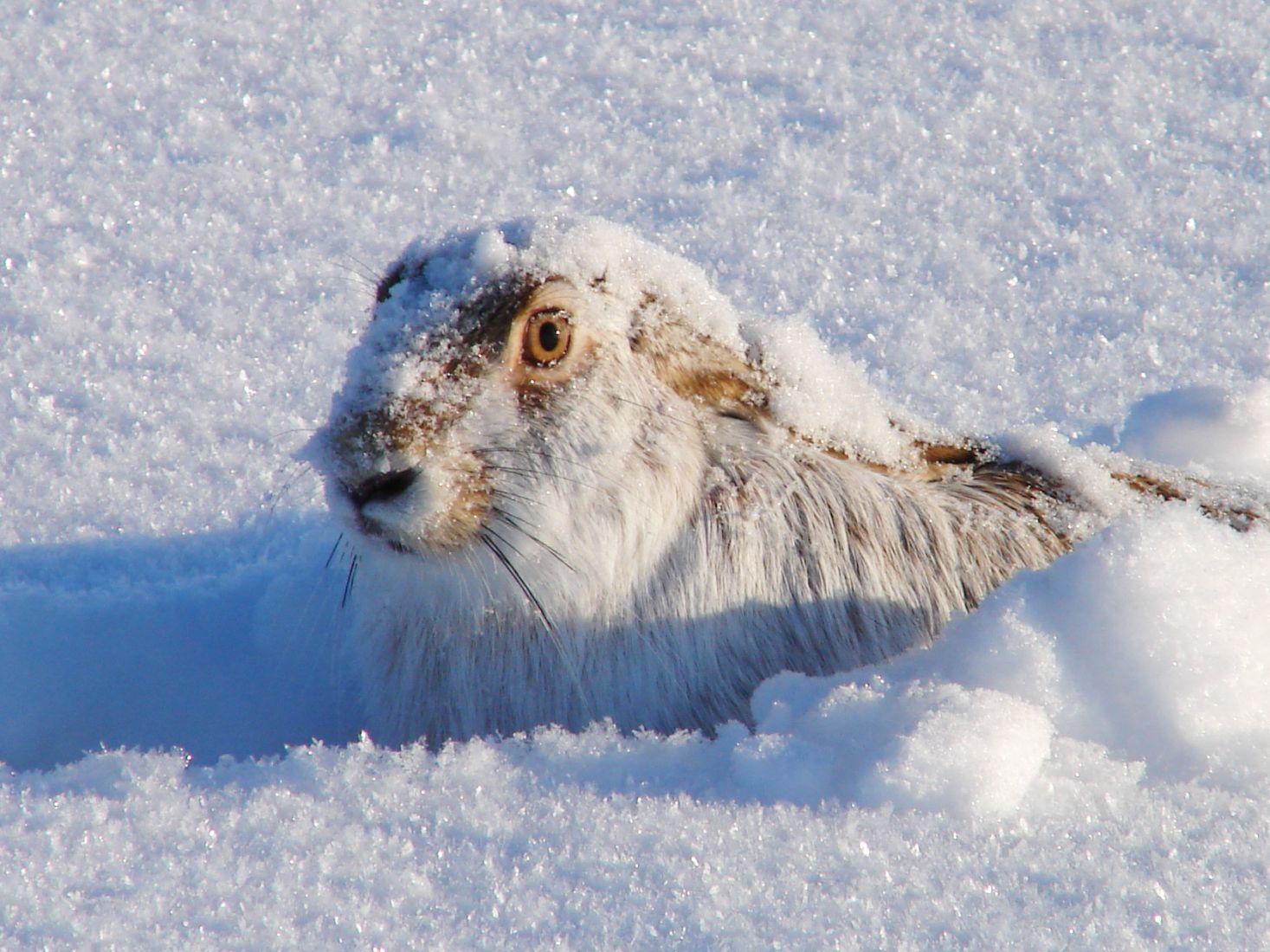 Снежный русак, © Дмитрий Меркулов, Финалист фотоконкурса «Самая красивая страна – 2018»