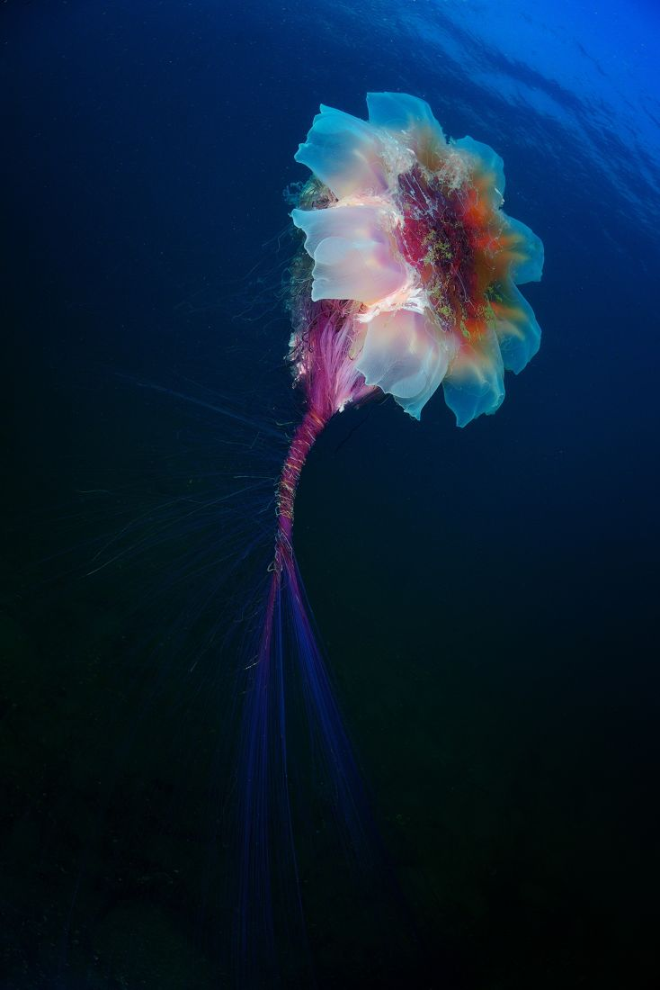 Подводный цветок медузы, © Андрей Шпатак, Место съемки: Приморье, бухта Рудная, Номинация «Подводный мир», Фотоконкурс «Самая красивая страна»