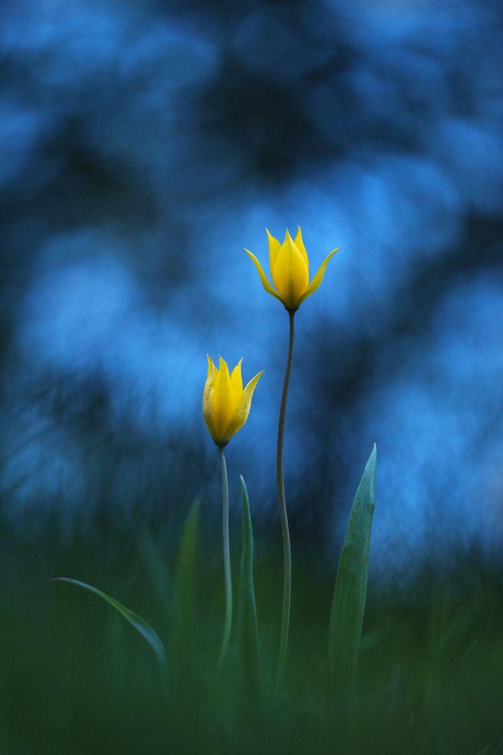 Тюльпаны, © Антон Воронин, Финалист фотоконкурса «Самая красивая страна – 2018»