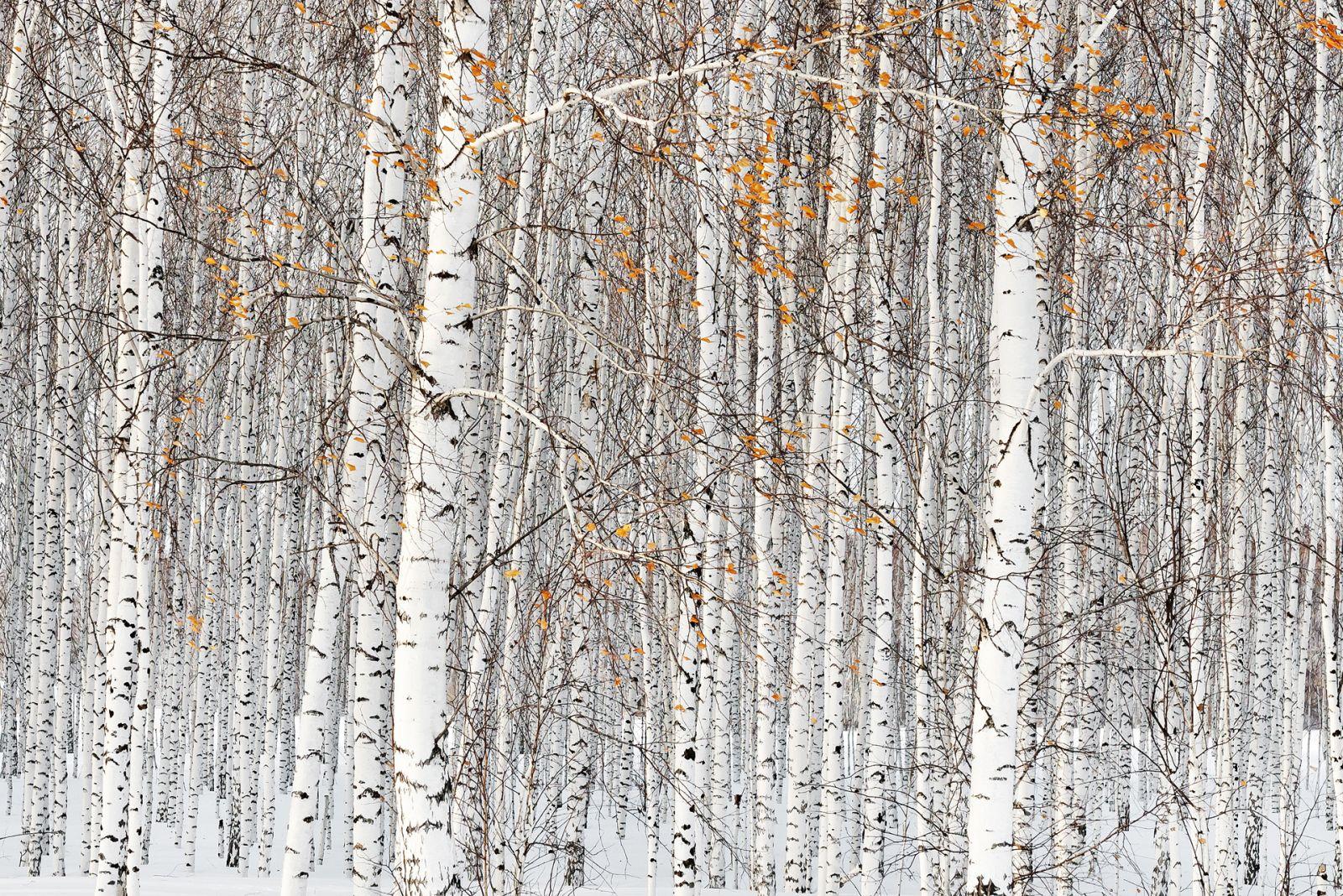 Березки, © Надежда Моисеева, Финалист фотоконкурса «Самая красивая страна – 2018»