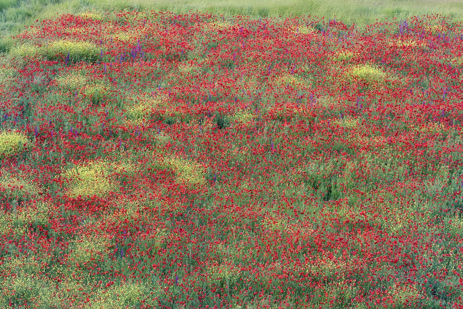 Маковое поле, © Владимир Алексеев, Финалист фотоконкурса «Самая красивая страна – 2018»