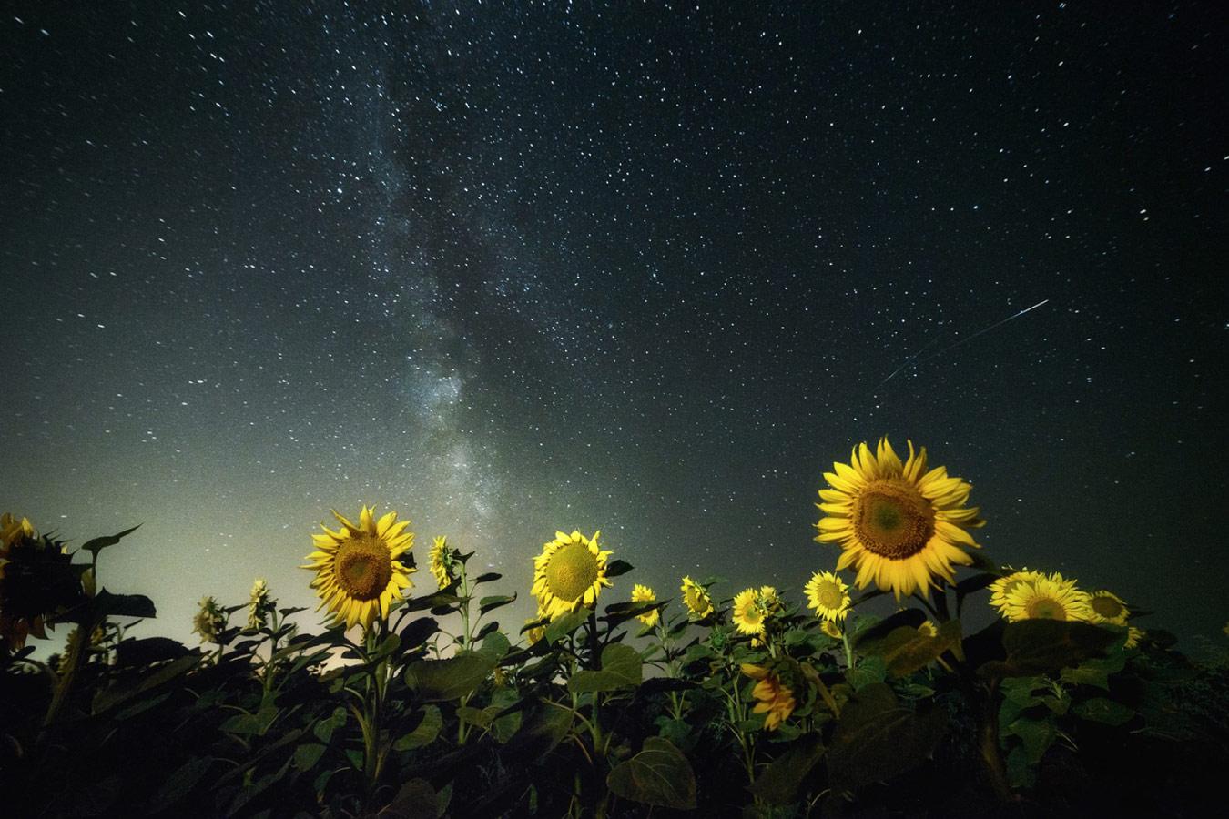 Подсолнухи в ночи, © Роман Склейнов