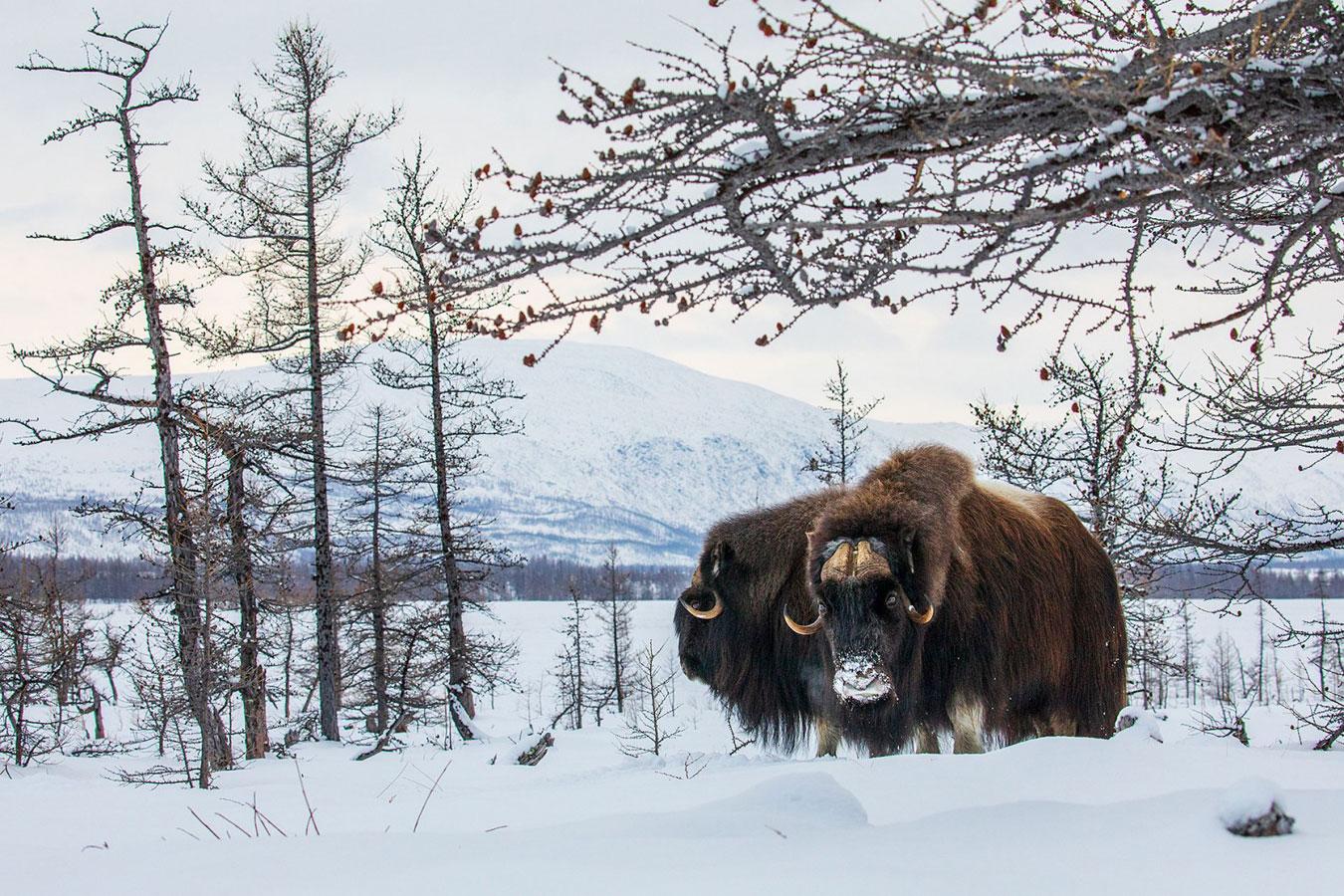 Овцебыки, © Константин Шатенев