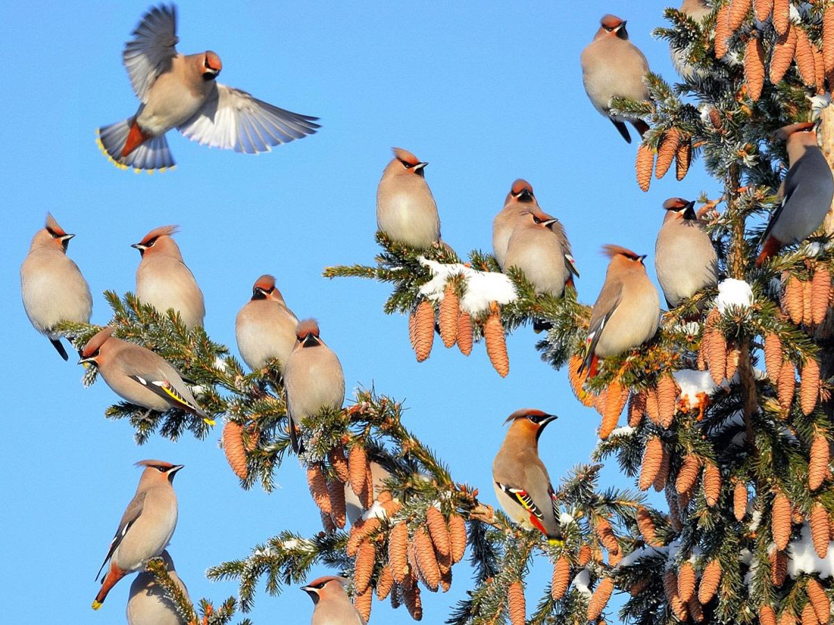 Свиристели прилетели, © Владилен Зубарев
