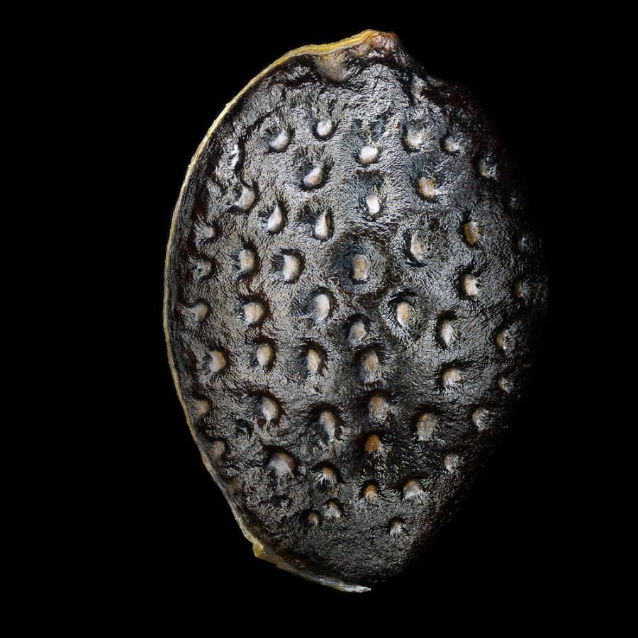 Семя маракуйи, © Клепнев Александр, Фотоконкурс «Стихии науки»