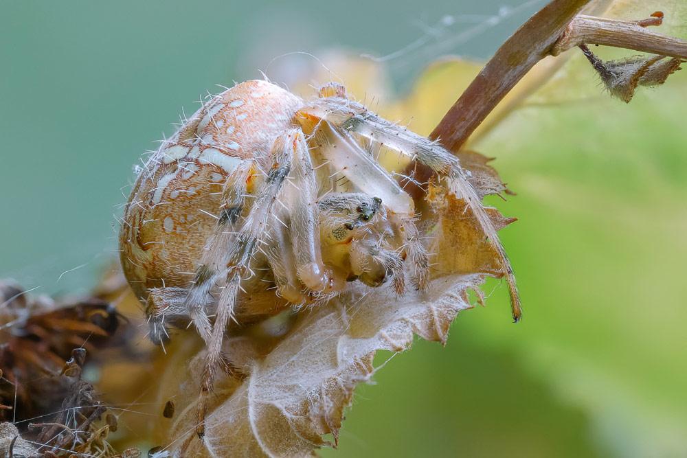 Паук-крестовик, © Гуртуев Эльдар, Фотоконкурс «Стихии науки»