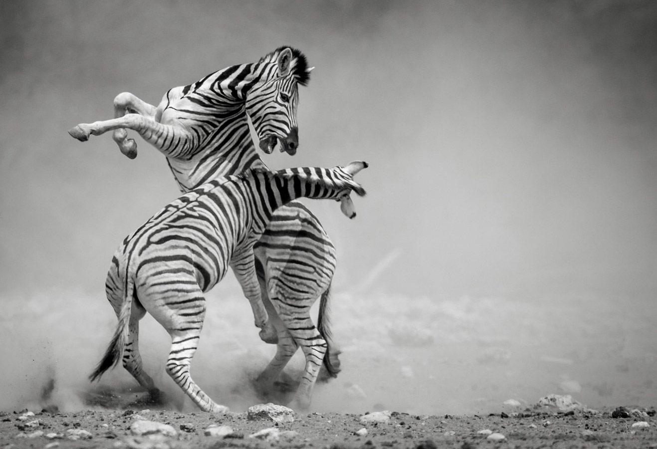 Дуэль, © Соналини Хетрапал, Индия, 3 место, Фотоконкурс Siena