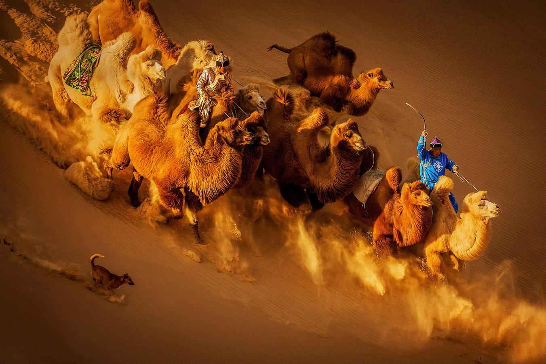 Верблюды в пустыне, © Вейгуо Ху, Китай, 2 место, Фотоконкурс Siena
