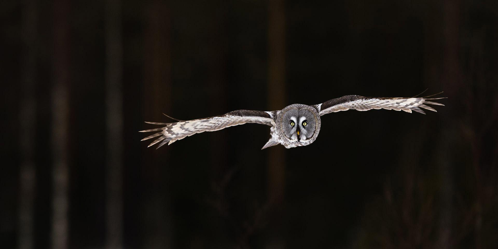 Большая серая сова в тёмном лесу, © Лассе Куркела, Финляндия, 2 место, Фотоконкурс Siena
