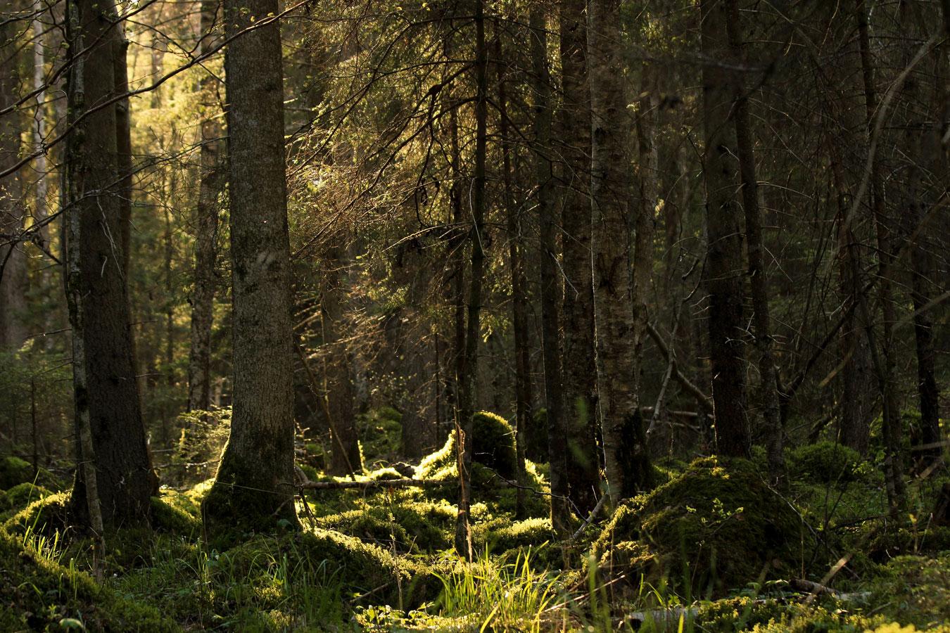 Лес, защищающий волшебный родник, © Марис Сепп, Деревня Лыупыллу, приход Ямая, Сааремаа, Эстония, Родник наивысшей силы (Колдовской родник), Фотоконкурс «Священные рощи»