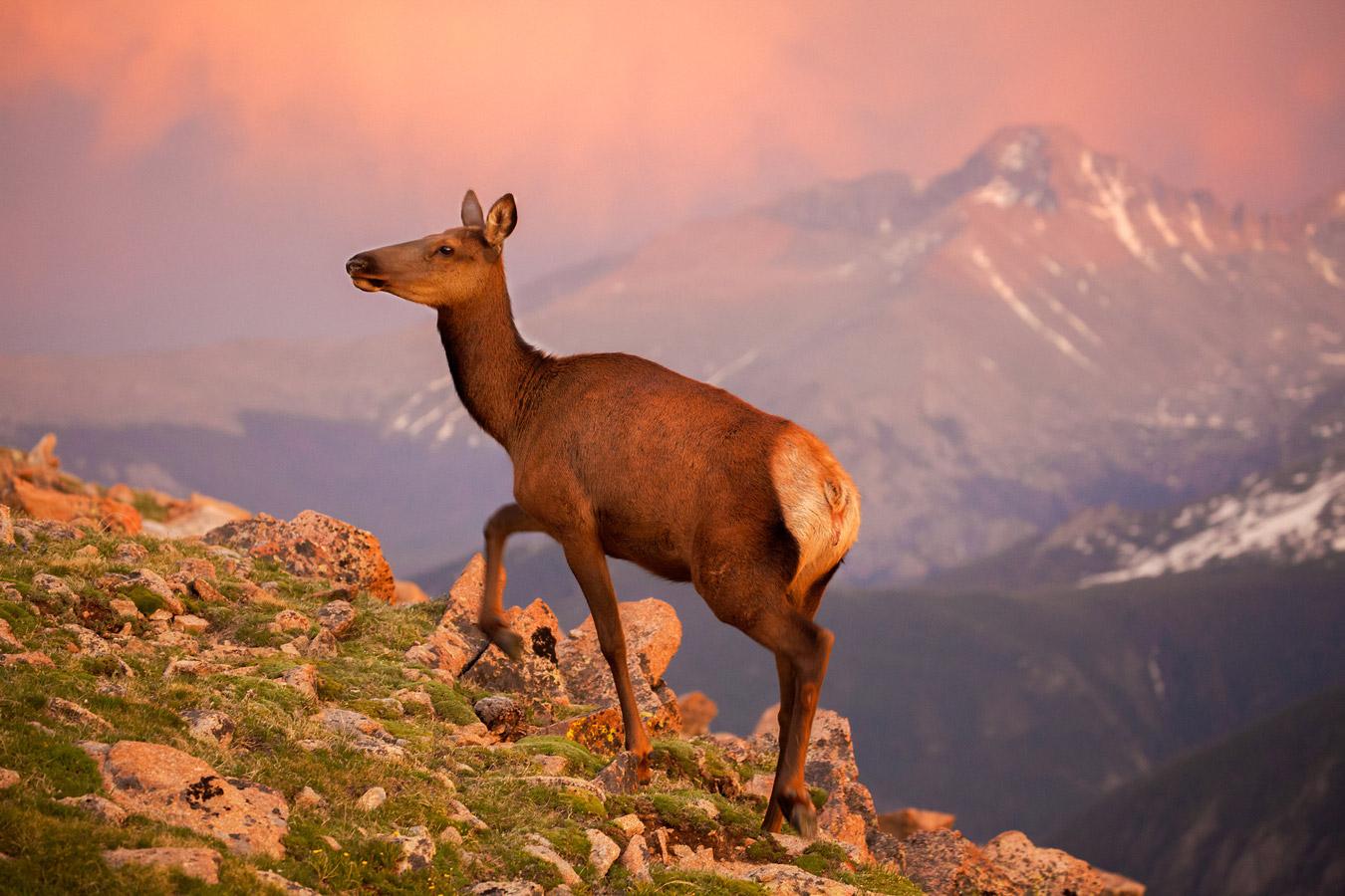 Лосиха на закате — Национальный парк Скалистых гор, © Сью Райт, Меса, Аризона, США, Финалист категории «Живая природа» : любитель, Фотоконкурс «Великие просторы» — пейзажи и живая природа — The Great Outdoors