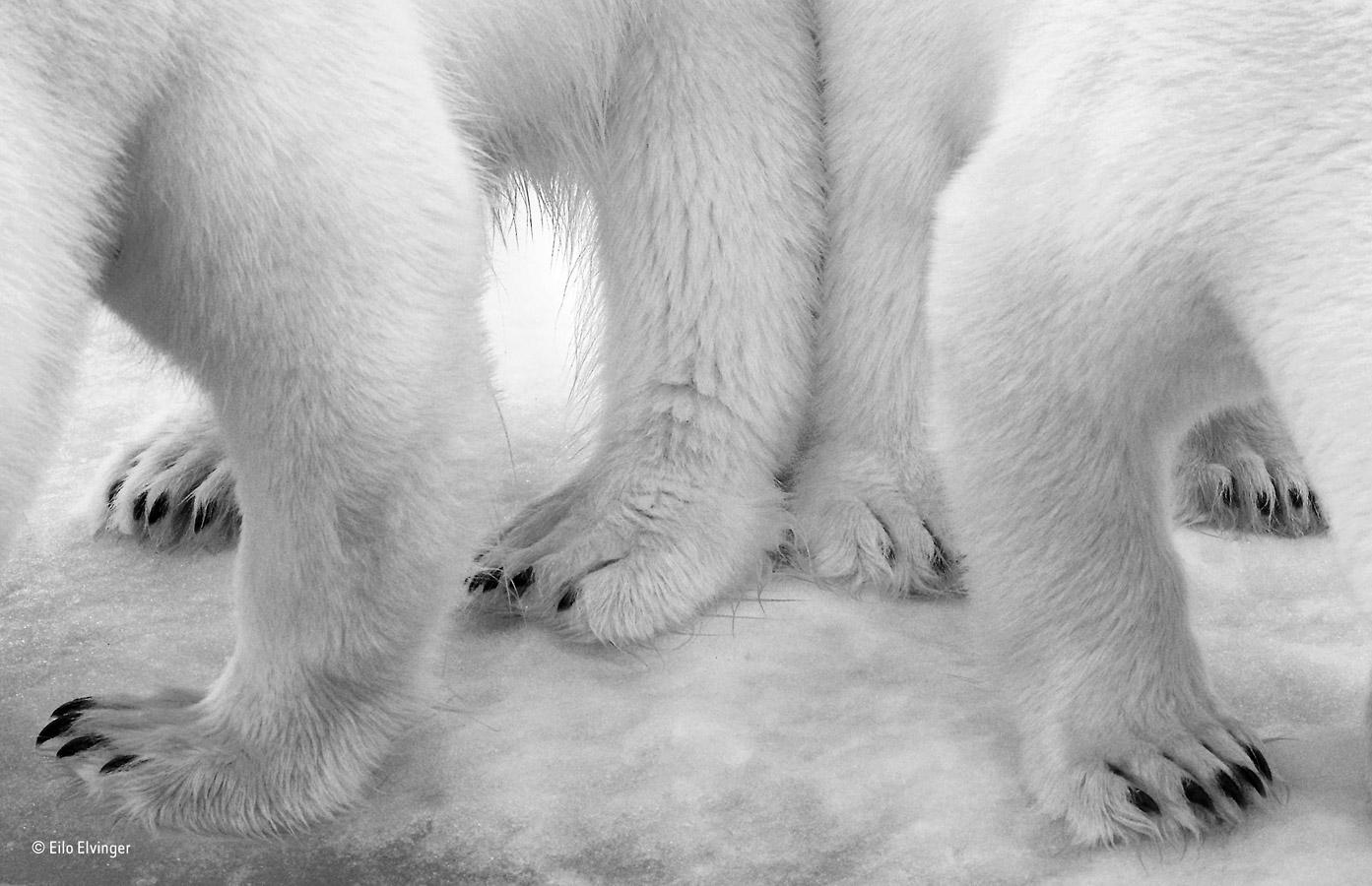 Полярный шаг на двоих, © Эйло Элвингер / Eilo Elvinger, Люксембург, Победитель категории «Чёрно-белое», Фотоконкурс «Фотограф года живой природы» — Wildlife Photographer of the Year