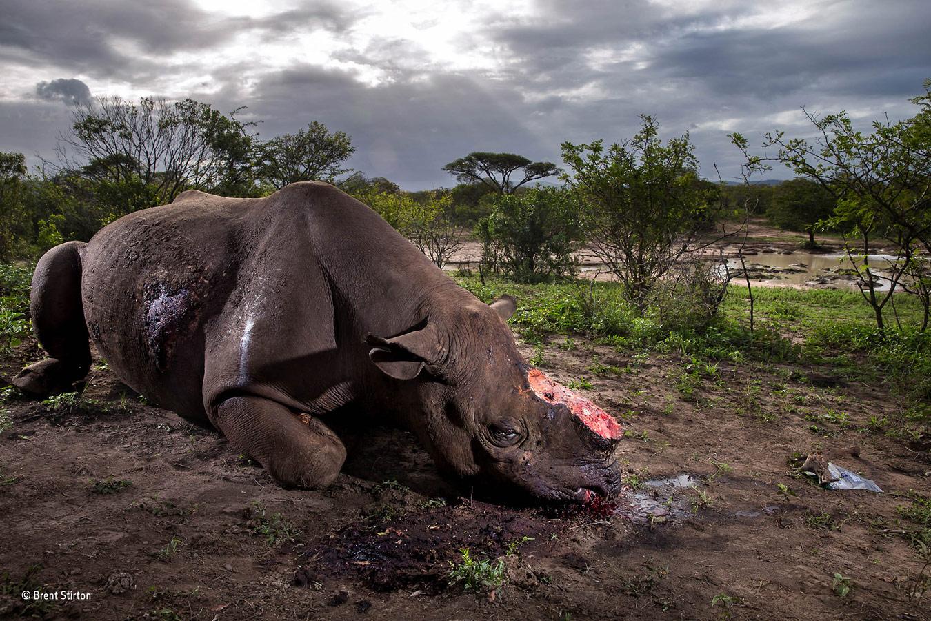 © Брент Стиртон / Brent Stirton, Южная Африка, Фотограф года дикой природы 2017, Гран-при конкурса — Wildlife Photographer of the Year