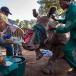 Рог носорога: продолжающееся зверство, © Брент Стиртон / Brent Stirton, Южная Африка, Награда «Фотожурналист дикой природы» : серия, Фотоконкурс «Фотограф года живой природы» — Wildlife Photographer of the Year
