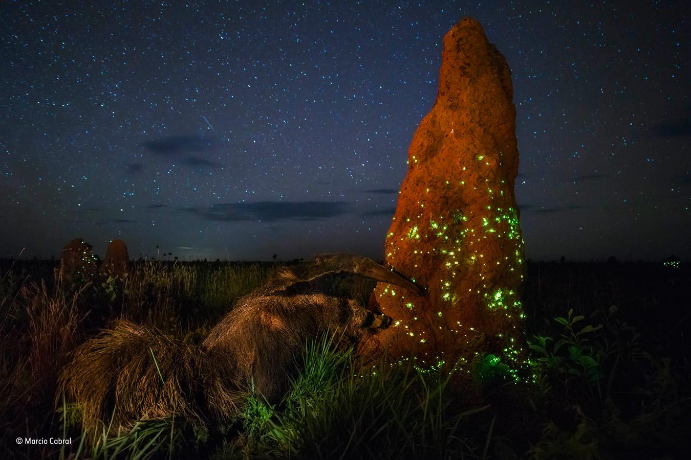 Ночной рейдер, © Марсио Кабрал / Marcio Cabral, Бразилия, Победитель категории «Животные в своей среде», Фотоконкурс «Фотограф года живой природы» — Wildlife Photographer of the Year