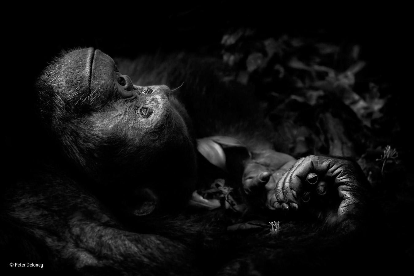 Созерцание, © Питер Делани / Peter Delaney, Ирландия / Южная Африка, Победитель категории «Портреты животных», Фотоконкурс «Фотограф года живой природы» — Wildlife Photographer of the Year