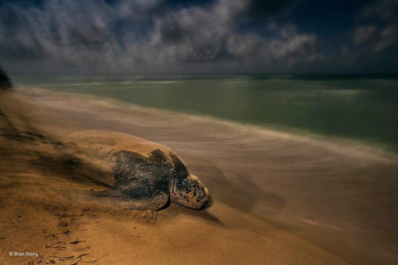 Древний ритуал, © Брайан Скерри / Brian Skerry, США, Победитель категории «Поведение: амфибии и рептилии», Фотоконкурс «Фотограф года живой природы» — Wildlife Photographer of the Year
