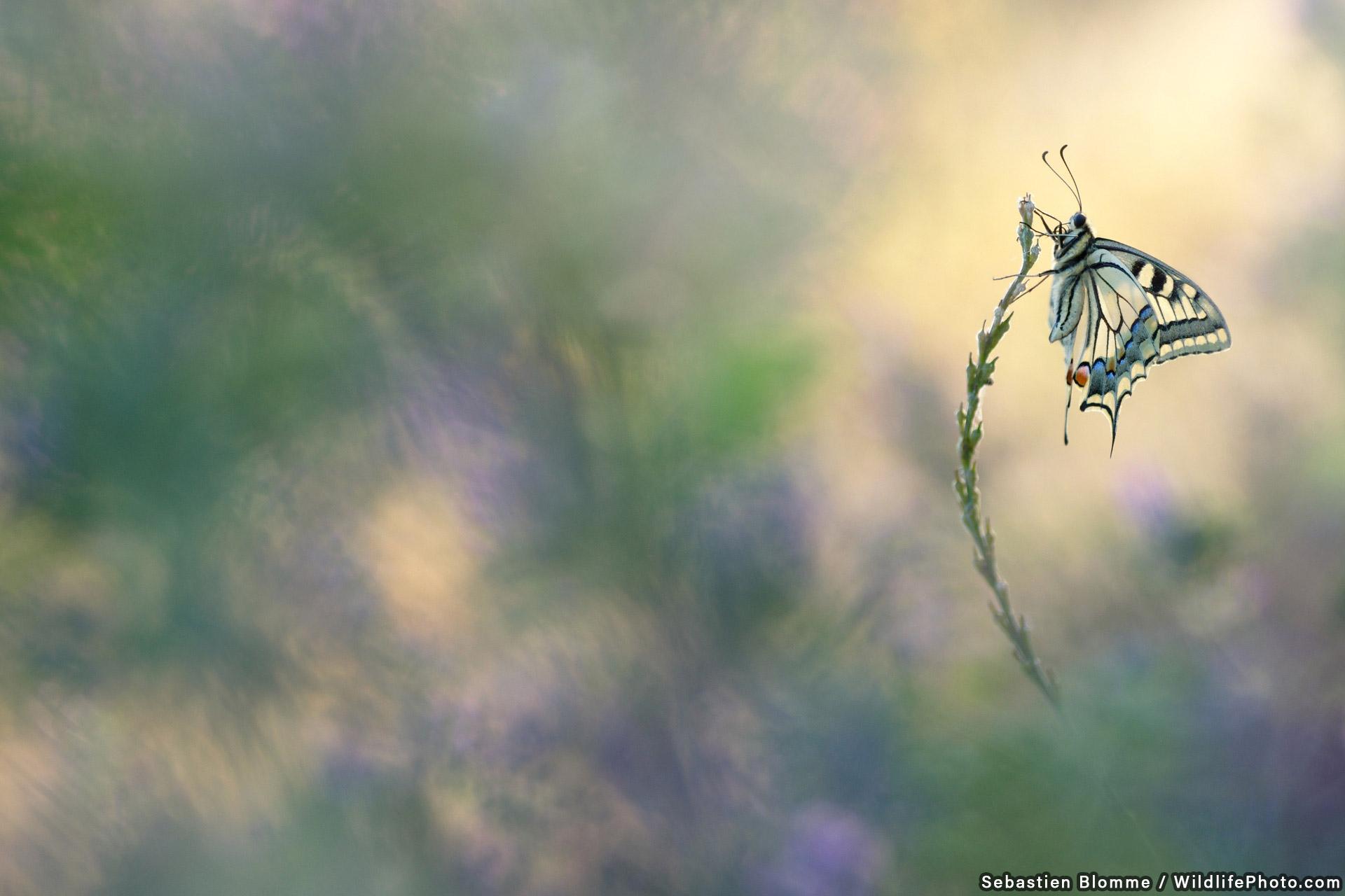 Король бабочек, © Себастьян Бломм, Высокая оценка, Фотоконкурс «Портреты дикой природы»