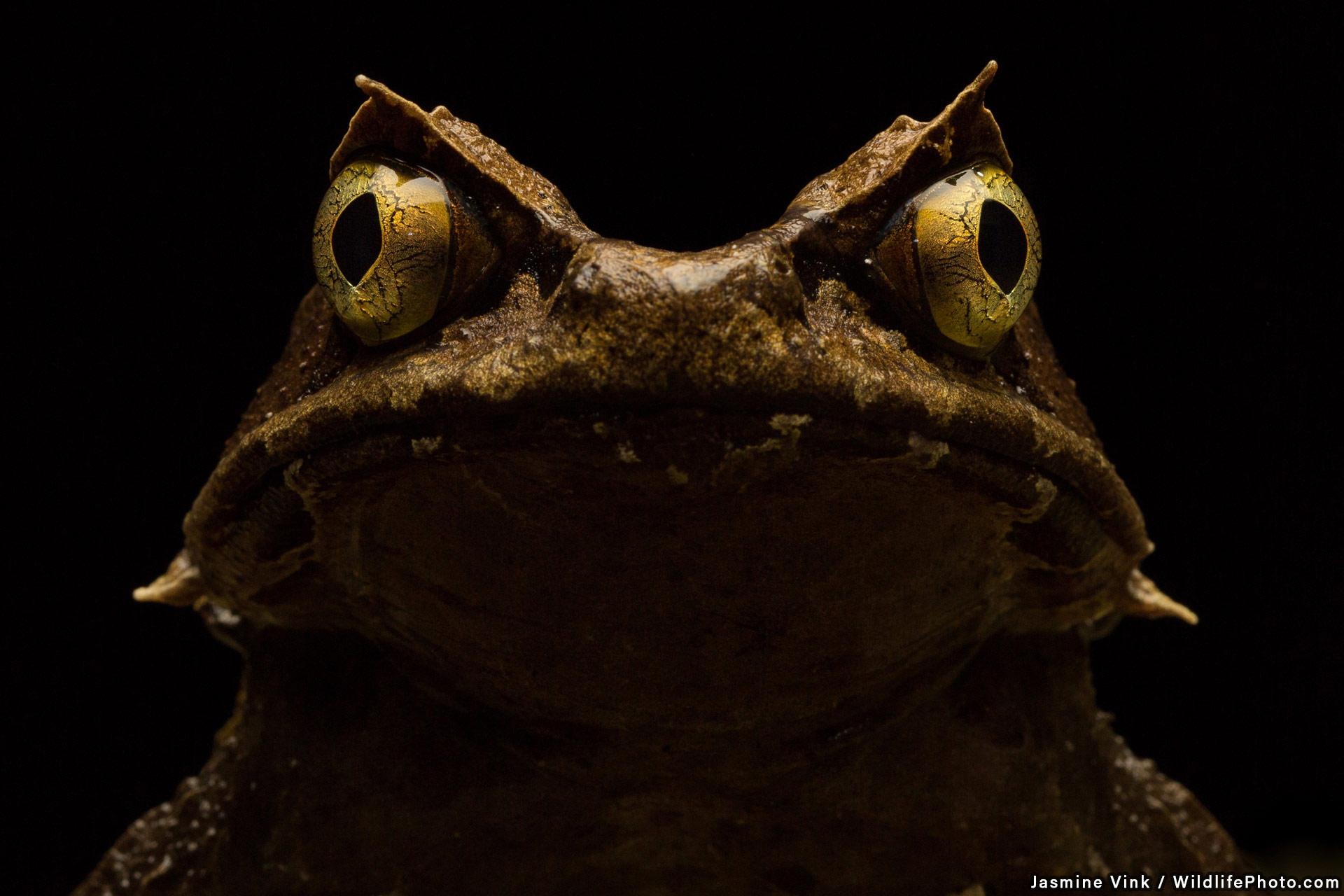 Рогатая лягушка Кобаяши, © Жасмин Винк, Высокая оценка, Фотоконкурс «Портреты дикой природы»