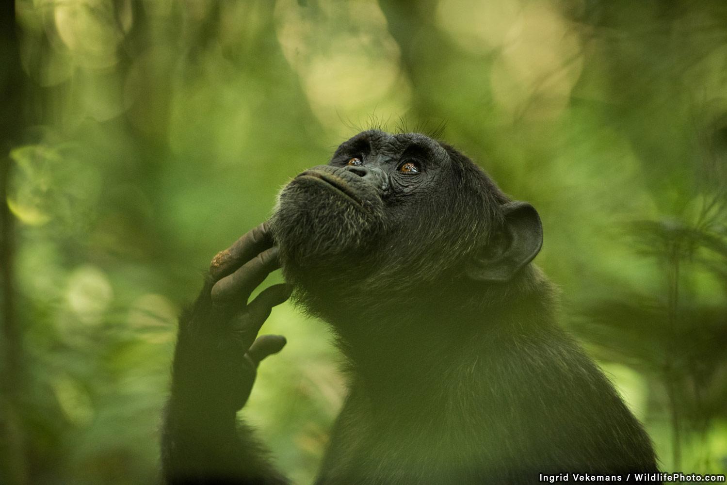 Мыслитель, © Ингрид Векеманс, Второе место, Фотоконкурс «Портреты дикой природы»