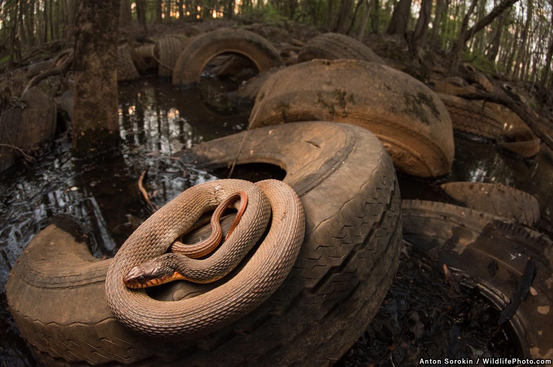 Шинные болота и змея, © Антон Сорокин, Второе место, Фотоконкурс «Портреты дикой природы»