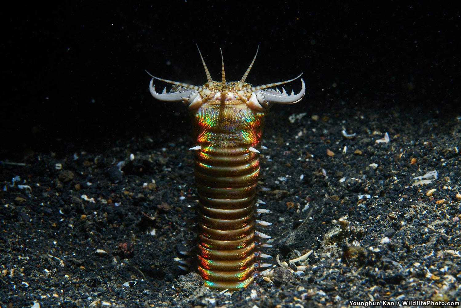 Боббит-червь, © Юнгун Кан, Высокая оценка, Фотоконкурс «Портреты дикой природы»