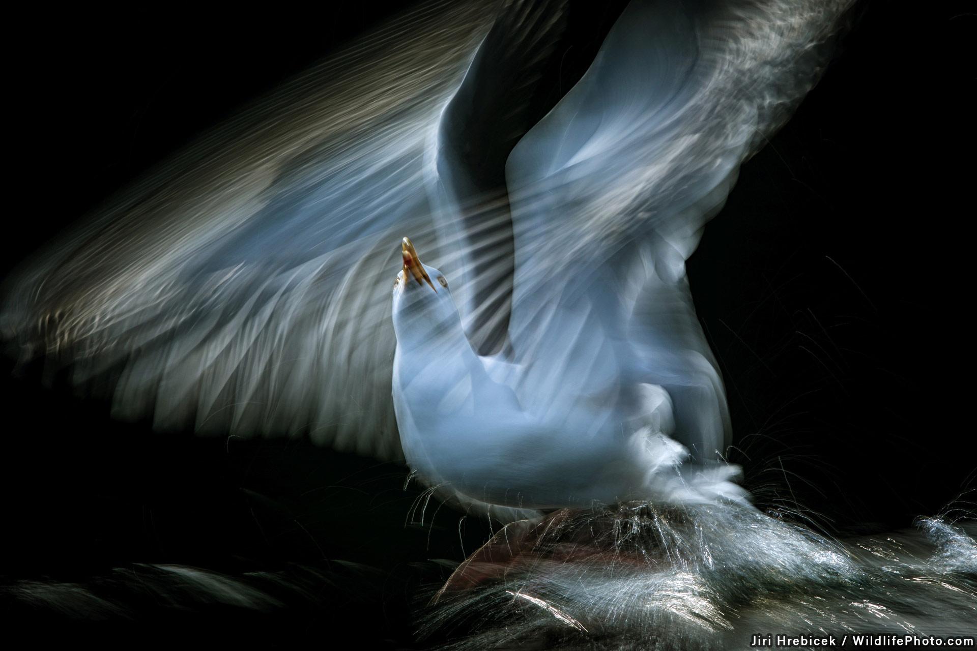 Чайка, © Иржи Хребичек, Высокая оценка, Фотоконкурс «Портреты дикой природы»