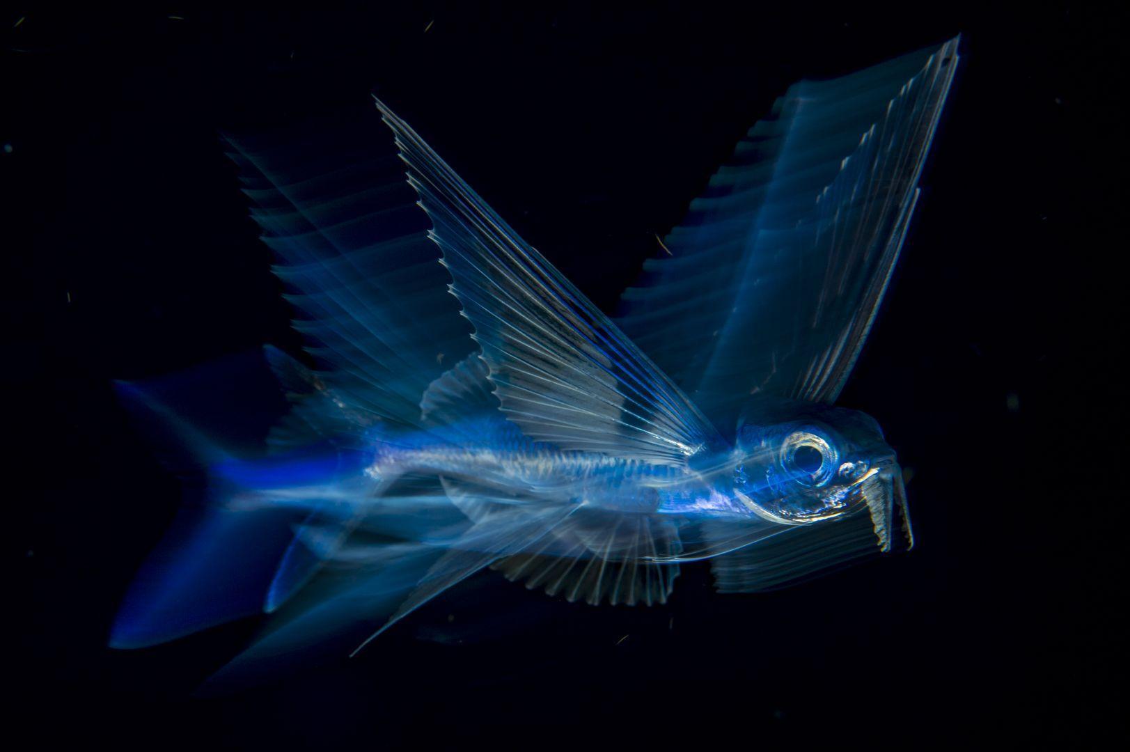 Летающая рыба в движении, © Майкл Патрик О'Нил, США, 3-й приз : одиночный кадр, Фотоконкурс World Press Photo
