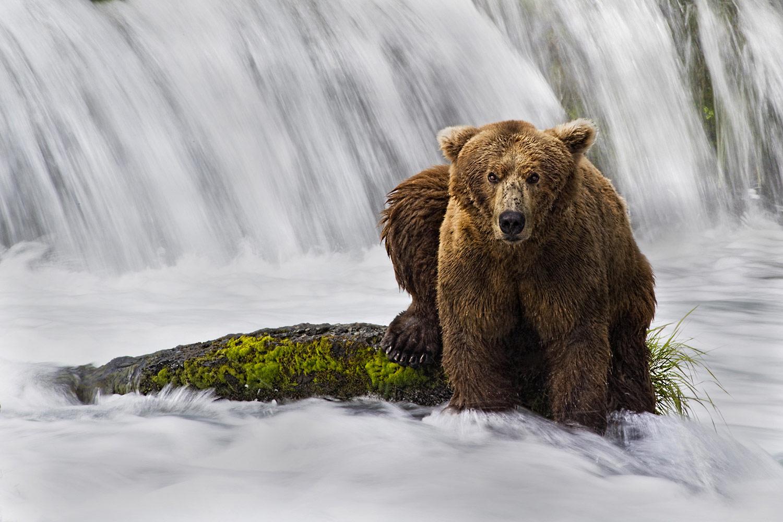Медведь Катмая, © Кристи Одом / Kristi Odom, Первое место в категории «Портрет — Животные/Домашние животные», Фотоконкурс WPPI Second Half Competition