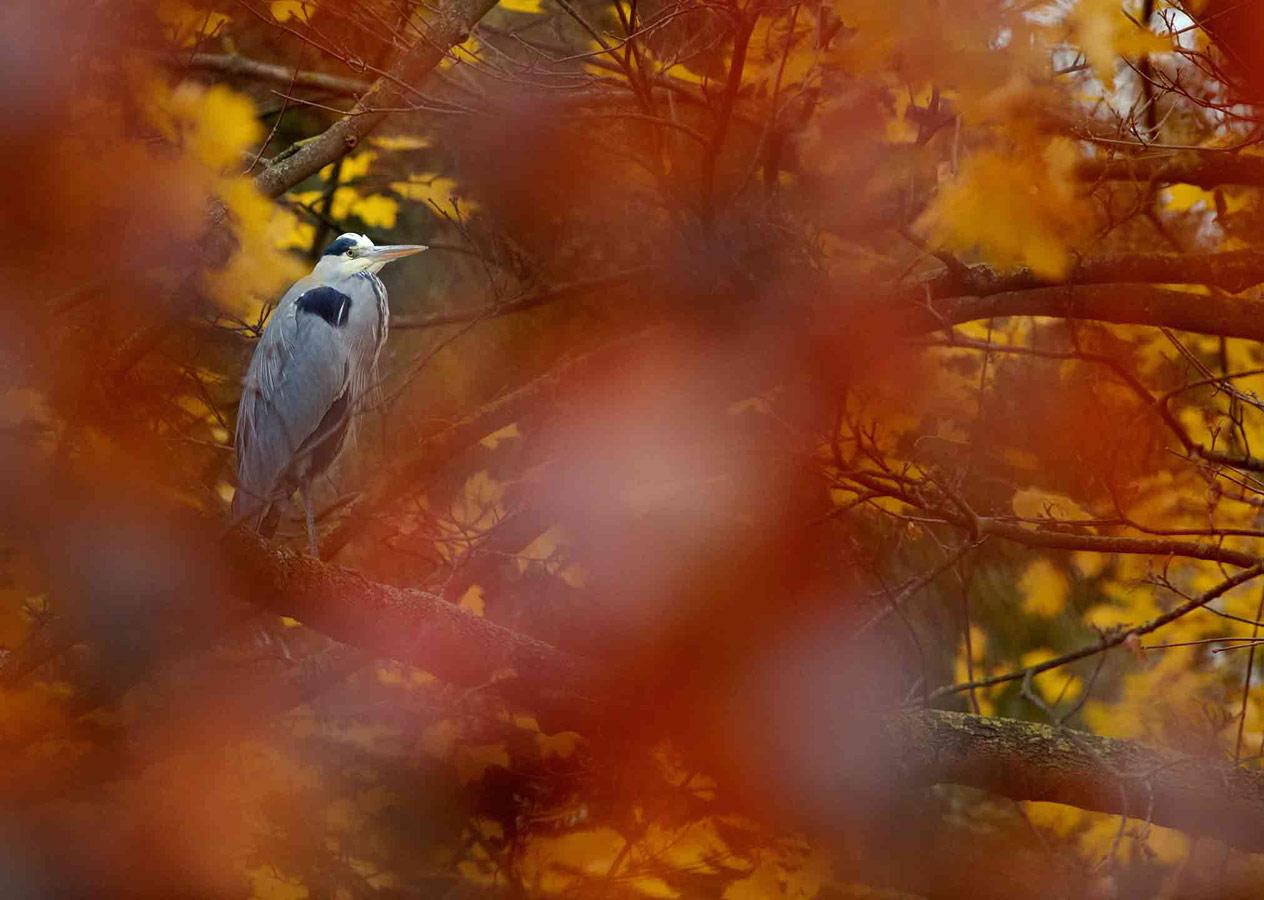 Серая цапля (3 из 5), © Гидеон Найт, Второе место, Молодёжный фотоконкурс RSPCA