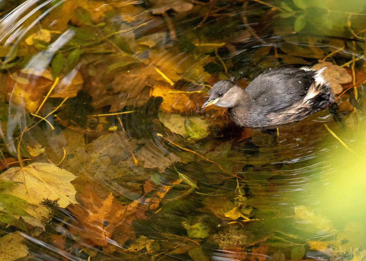 Маленькая поганка (4 из 5), © Гидеон Найт, Второе место, Молодёжный фотоконкурс RSPCA