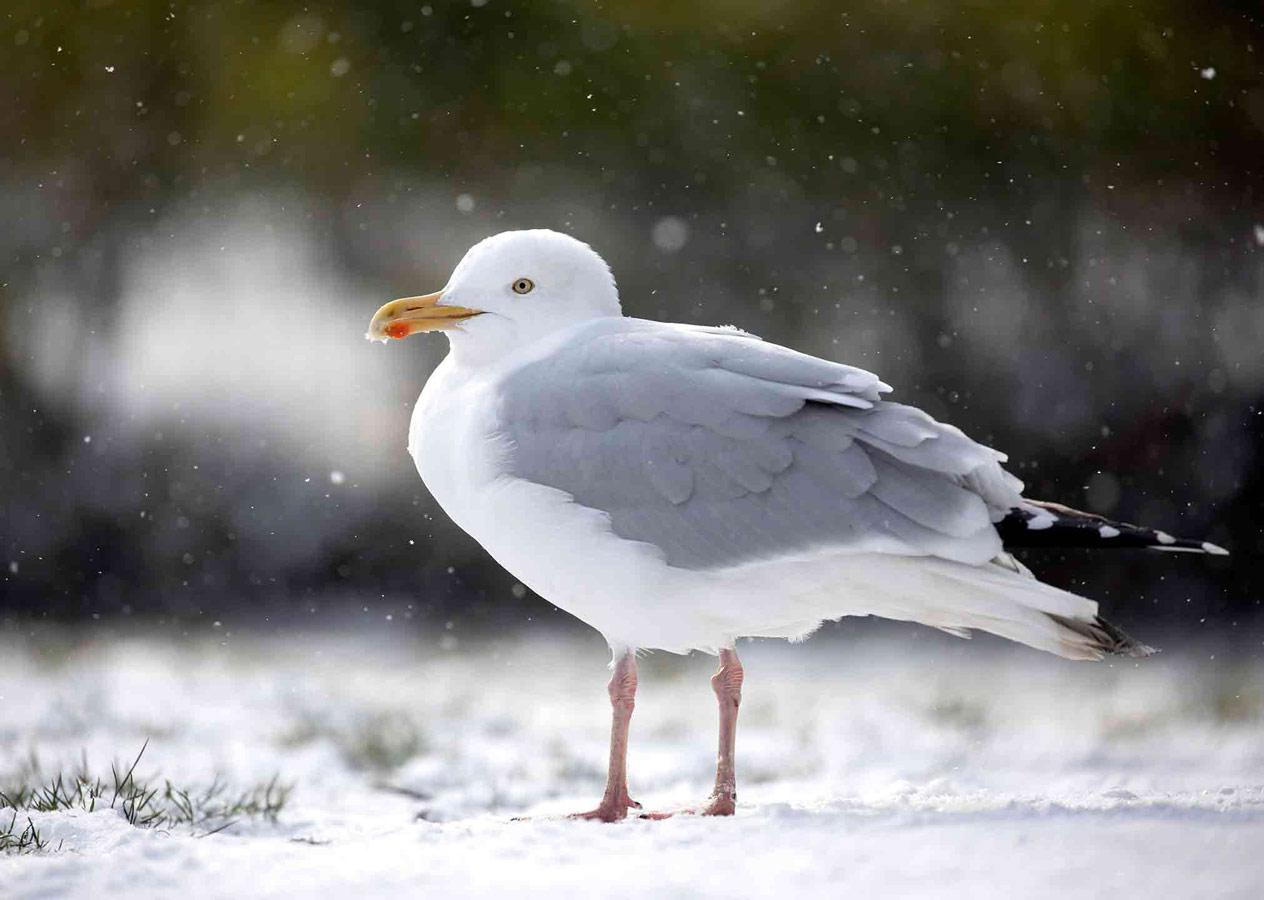 Чайка на снегу (2 из 5), © Гидеон Найт, Поощрительное место, Молодёжный фотоконкурс RSPCA