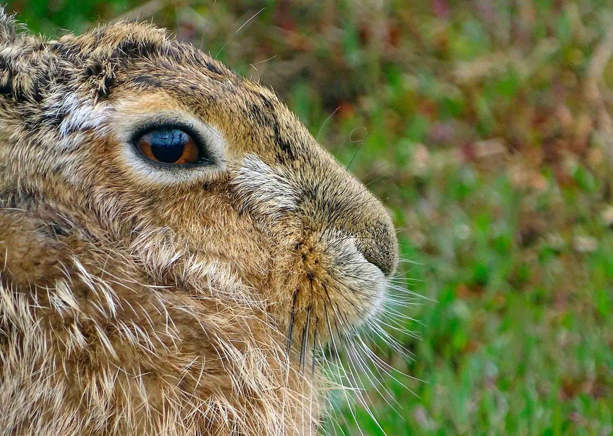 Хавергейтский заяц, © Томас Истербрук, Поощрительное место, Молодёжный фотоконкурс RSPCA
