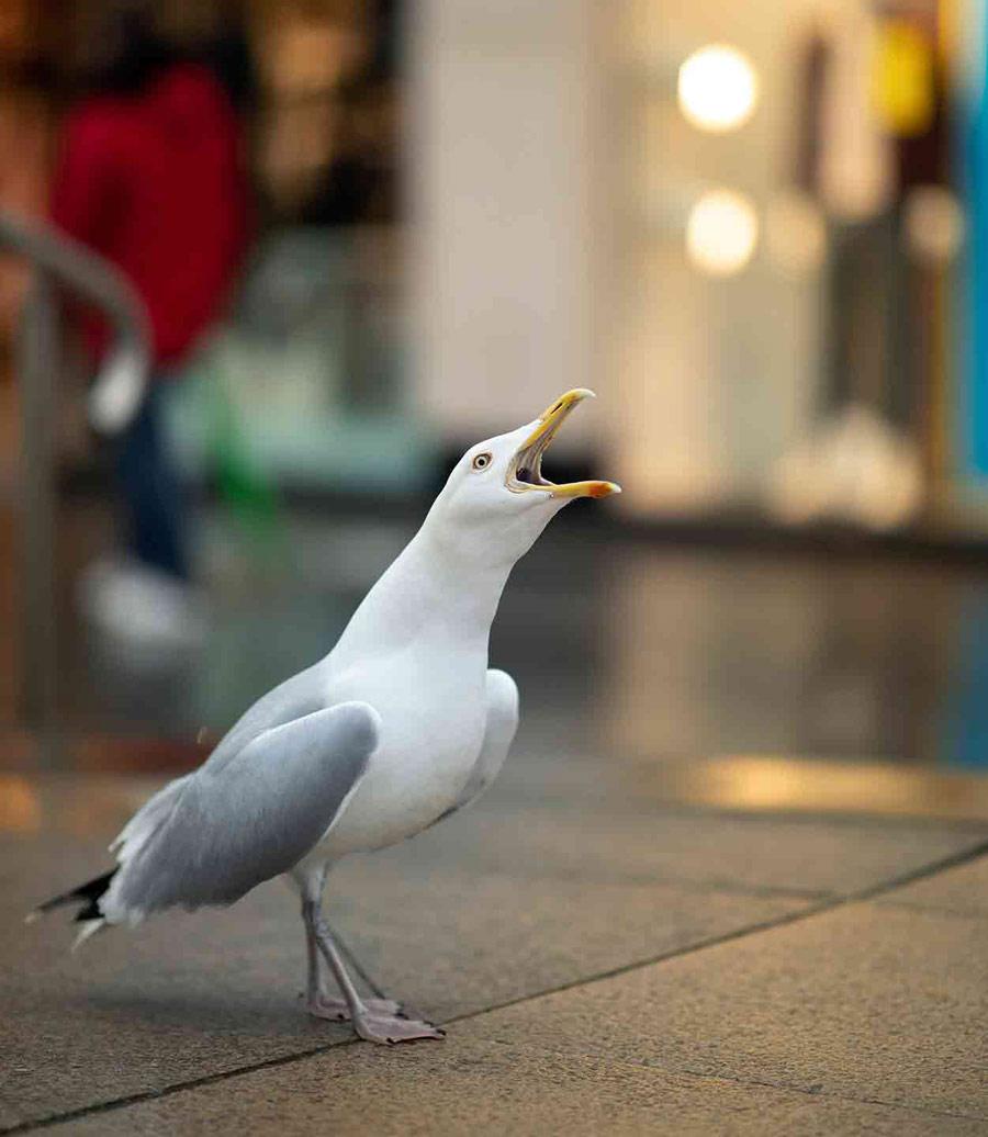Городской крикун (5 из 5), © Гидеон Найт, Поощрительное место, Молодёжный фотоконкурс RSPCA
