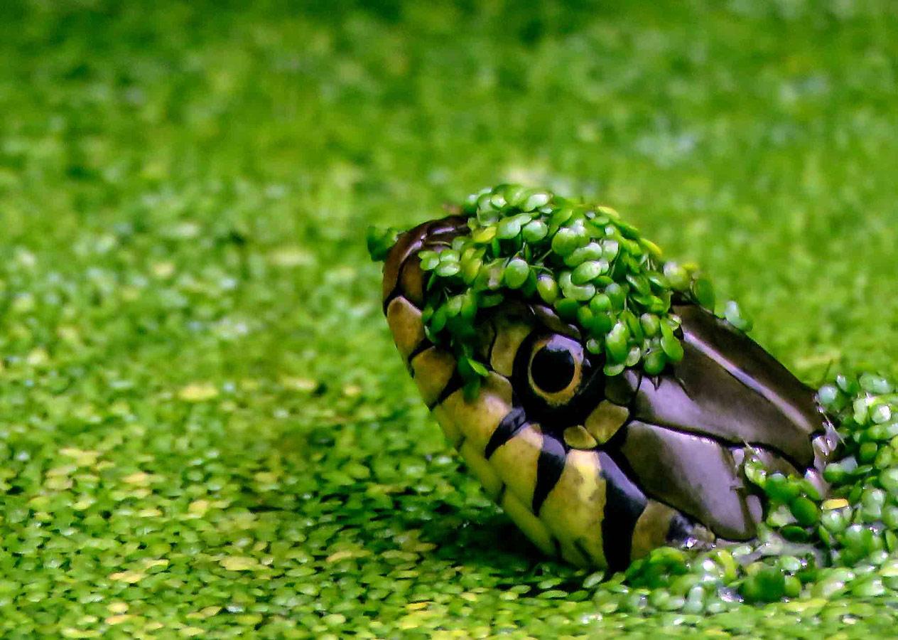 Змея в пруду, © Фредди Джонс, Победитель, Молодёжный фотоконкурс RSPCA