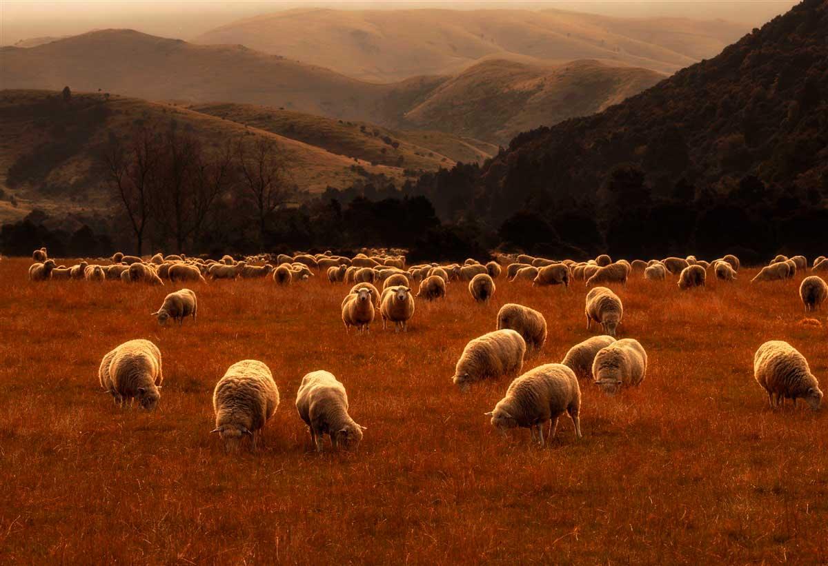 Выпас овец на закате | Нил Шет