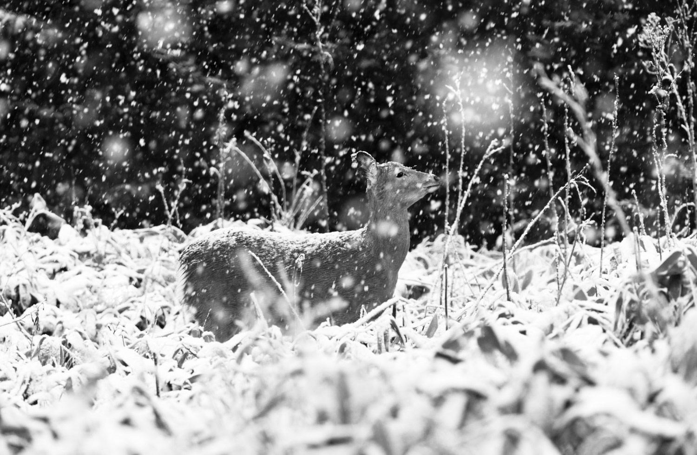 Олень в снегу, © Ая ИВАСАКИ, 2-е место в категории «Абстракция и современность», профессионал, Фотоконкурс «Зебра» — Zebra — Чёрно-белый фотограф года